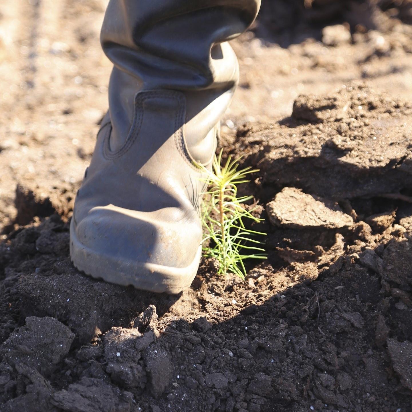 Istuttaja tiivistää maata taimen ympäriltä